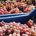 5030 т грозде от винени сортове произвели в Търговищко