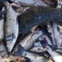 Изследват в София отровената риба от р. Марица