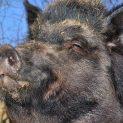 Обявиха случаи на АЧС при диви свине в Търговищко