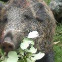 Откриха диви прасета с африканска чума в Монтанско