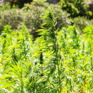 Разбиха оранжерия за марихуана в Перник
