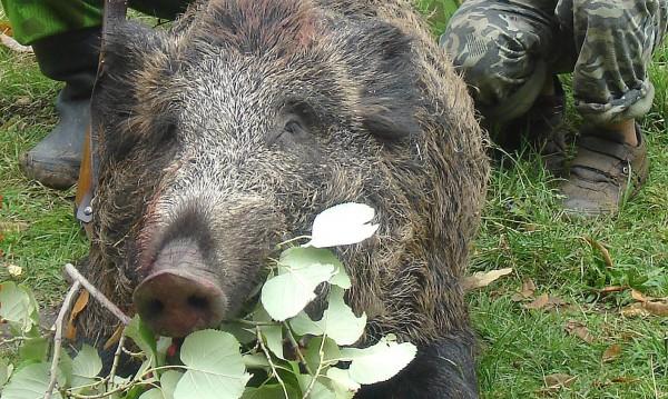 Ловният сезон: Отстреляха над 40 диви прасета в Пернишко