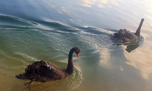"""Откриха два от изчезналите черни лебеди от парк """"Бачиново"""""""