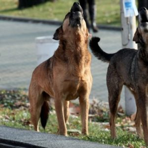 БАБХ със санкции срещу 81 общини заради уличните кучета