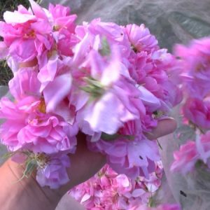 Добивът на розов цвят 7 пъти по-нисък от миналата година